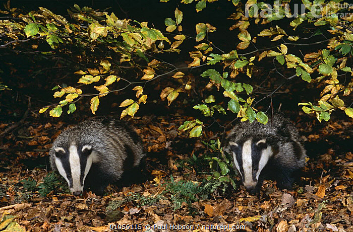 Two 10 month old Badgers {Meles meles} foraging in autumn leaves at night, Derbyshire, UK  ,  AUTUMN,BADGERS,CARNIVORES,ENGLAND,EUROPE,JUVENILE,MAMMALS,MUSTELIDS,NIGHT,NOCTURNAL,PAIR,PORTRAITS,TWO,UK,VERTEBRATES,WOODLANDS,YOUNG,United Kingdom,British  ,  Paul Hobson