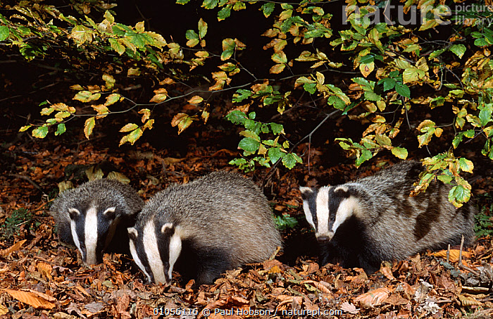 Three 10 month old Badgers {Meles meles} browsing in leaf litter at night, Derbyshire, UK, AUTUMN,BADGERS,browsing,CARNIVORES,ENGLAND,EUROPE,FEEDING,FORAGING,GROUPS,JUVENILE,MAMMALS,MUSTELIDS,NIGHT,PORTRAITS,THREE,UK,VERTEBRATES,WOODLANDS,young,MELES MELES, Paul Hobson