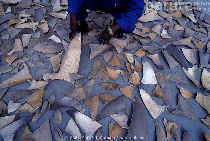 Shark fins drying before shipment from South Africa to Hong Kong for use in soup and for medicine, 70,AFRICA,ASIA,FINS,FISH,HONG,HORIZONTAL,HUNTING FOOD,JEFF,JR,KONG,MARINE,MEDICINE,NATAL,PATTERNS,ROTMAN,SHARKS,SOUP,SOUTH EAST ASIA,SOUTHERN AFRICA,TRADE,VERTICAL, Fish, Jeff Rotman