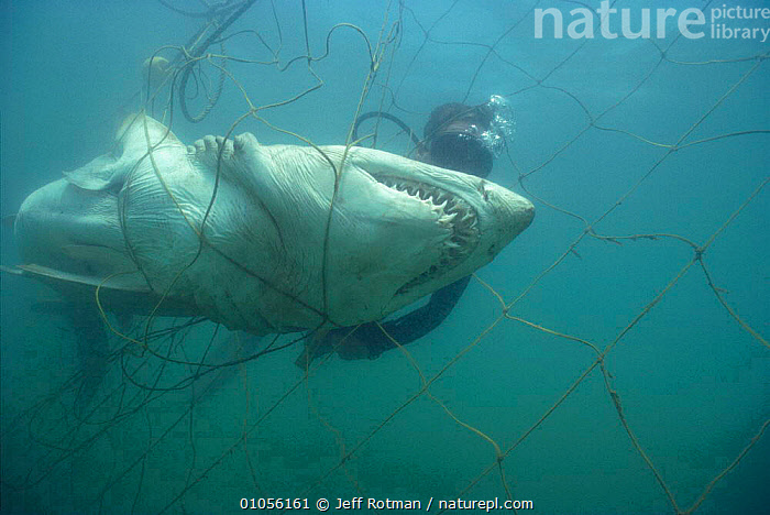Diver inspects Sand tiger shark caught in anti-shark net  {Carccharias taurus} Durban, South Africa Model released.  ,  AFRICA,ANTI SHARK,DEAD,DEATH,DIVING,FISH,HORIZONTAL,JR,MARINE,NET,PEOPLE,PREVENTION,PROTECTION,SHARKS,TEETH,UNDERWATER, Fish,SOUTHERN AFRICA  ,  Jeff Rotman