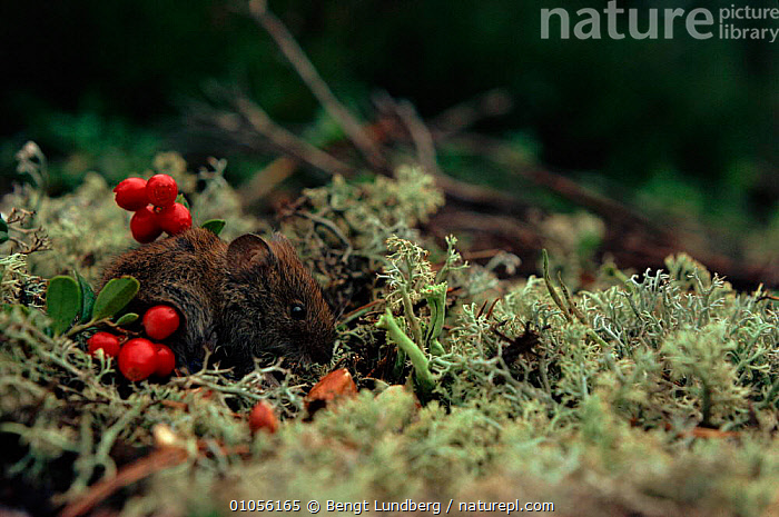 Northern red backed vole (Clethrionmys rutilus) among lichen and bearberry fruit. Sweden, Scandinavia, Europe  ,  LICHENS,RODENTS,SWEDEN,SCANDINAVIA,VERTICAL,BEARBERRY,HORIZONTAL,MAMMALS,PORTRAITS,FRUIT,SMALL,EUROPE,PLANTS,MURIDAE  ,  Bengt Lundberg
