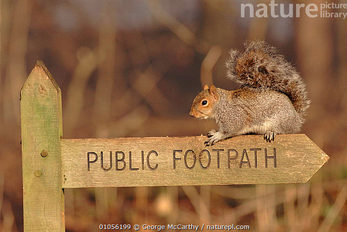 Grey squirrel on Public Footpath sign, Sussex, England, UK  ,  EUROPE,SIGN,WALKING,RODENTS,AB,HUMOROUS,MAMMALS,ENGLAND,HORIZONTAL,UK,UNITED KINGDOM,CONCEPTS,BRITISH,GettyBOV  ,  George McCarthy
