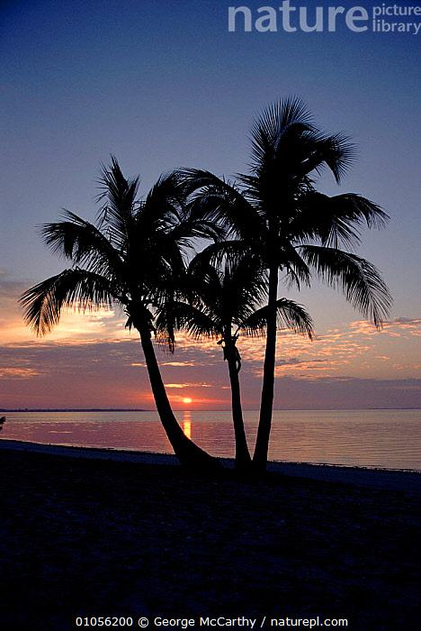 Sunset and palm trees, Sanibel Island, Florida, USA.  ,  AB,BEACH,CONCEPTS,HOLIDAYS,ISLAND,NORTH AMERICA,PALM,PLANTS,SANIBEL,SEA,SILHOUETTES,SUNSET,TREES,VERTICAL,USA  ,  George McCarthy