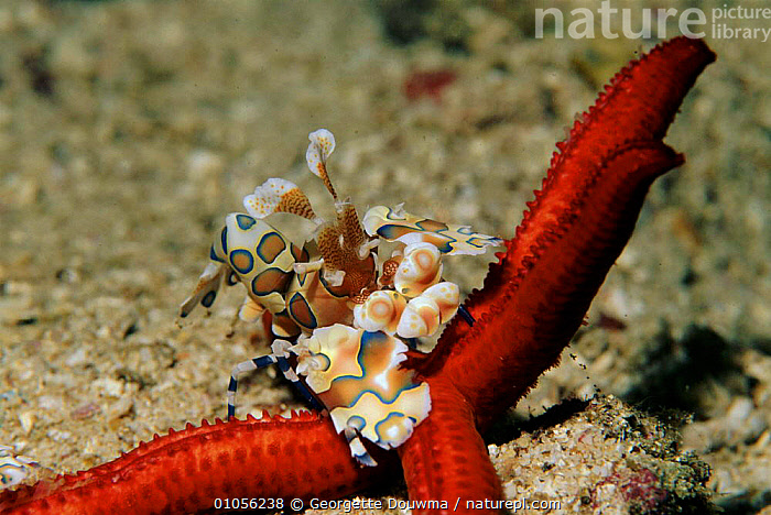 Harlequin shrimp pair feeding on starfish prey, Andaman Sea, Thailand.  ,  ,GD,DOUWMA,GEORGETTE,MARINE,ANDAMAN,PREDATION,THAILAND,FEEDING,CRUSTACEANS,STARFISH,HORIZONTAL,MALE FEMALE PAIR,BEHAVIOUR,INVERTEBRATES  ,  Georgette Douwma