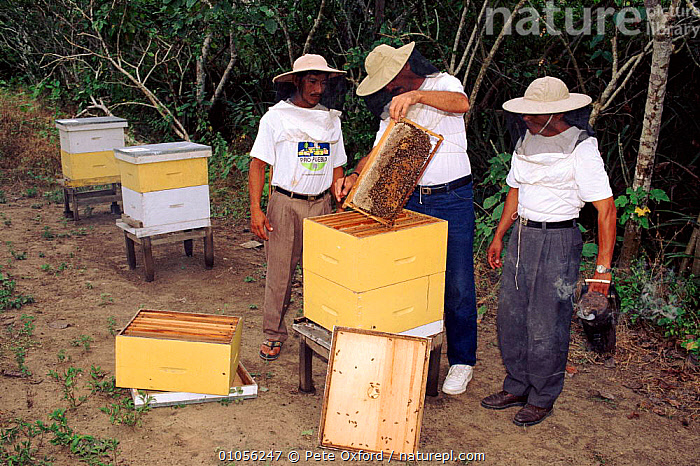Inspecting bee hives, Community Bee Culture Project, Pro Pueblo Foundation, Ecuador  ,  BEEKEEPING,BEES,HIVES,HONEY,HORIZONTAL,INSECTS,INVERTEBRATES,OXFORD,PEOPLE,PO,SEQUENCE,SOUTH AMERICA,STORY,TRADITIONAL,VILLAGES  ,  Pete Oxford