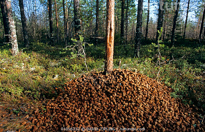 Discarded cones at base of tree of Great spotted woodpecker {Dendrocopus major} Finland  ,  BEHAVIOUR,BIRDS,CONES,CONIFEROUS,EUROPE,FEEDING,FOOD,HORIZONTAL,TREES,VERTEBRATES,WOODLANDS,WOODPECKERS,Plants  ,  DAVID TIPLING