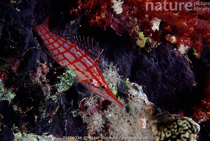 Longnose hawkfish, Indo-Pacific  ,  CORAL REEFS,RED,PS,FISH,INDO PACIFIC,,HORIZONTAL,MARINE  ,  Peter Scoones