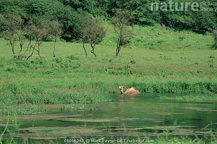 Dhofar, South Oman, during monsoon season with camel bathing in the river.  ,  RIVER,HORIZONTAL,WET SEASON,DHOFAR,WATER,MPG,CAMEL,PAYNE GILL,MONSOON,ARABIA  ,  Mark Payne-Gill