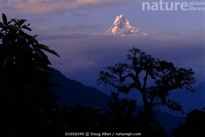 Machapuchare peak in clouds with trees silhouetted in foreground, Nepal  ,  ALLAN,CLOUDS,DA,HORIZONTAL,MACHAPUCHARE,MOUNTAINS,PEAK,PLANTS,SILHOUETTED,SILHOUETTES,SNOW,TREES,WEATHER,Asia  ,  Doug Allan