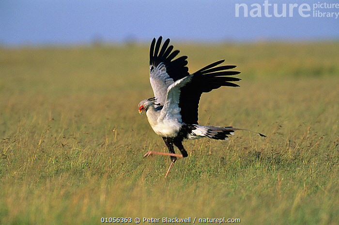 Secretary bird {Sagittarius serpentarius} male displaying, Masai Mara NP, Kenya  ,  AFRICA,BIRDS,DISPLAY,EAST AFRICA,GRASSLAND,MALES,MATING BEHAVIOUR,RESERVE,RUNNING,SAVANNA,SECRETARY BIRDS,VERTEBRATES,WINGS,Communication  ,  Peter Blackwell