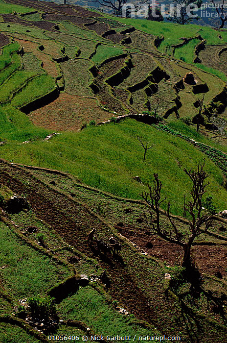 Ploughing a terraced field in the Himalayan foothills near Pokhara, Nepal.  ,  AGRICULTURE,CROPS,CULTURES,FARMING,FIELD,FOOTHILLS,GARBUTT,HIMALAYAS,HORIZONTAL,LIVESTOCK,NEAR,NGA,PEOPLE,PLOUGHING,POKHARA,TERRACED,TERRACES,TRADITIONAL,Asia  ,  Nick Garbutt