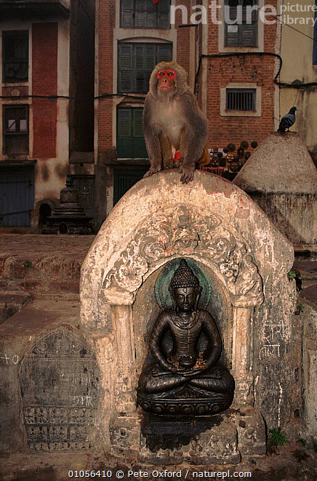 Rhesus macaque at Swayambu Temple in Kathmandu, Nepal.  ,  PO,OXFORD,CULTURES,MONKEY,VERTICAL,MAMMALS,MACAQUE,NEPAL,KATHMANDU,INDIAN SUBCONTINENT,TEMPLE,PRIMATES,SWAYAMBU,ASIA,MONKEYS  ,  Pete Oxford
