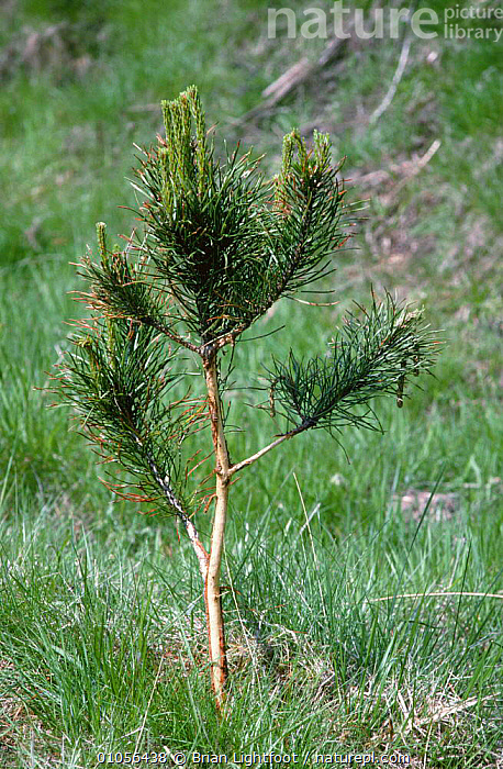 Scots pine {Pinus sylvestris} seedling damaged by deer, Scotland, UK  ,  CONIFEROUS,CONIFERS,DAMAGE,DEER,EUROPE,GRAZING,GYMNOSPERMS,IMMATURE,PINACEAE,PINES,PLANTS,SAPLING,SCOTLAND,TREES,UK,VERTICAL,YOUNG,United Kingdom,British  ,  Brian Lightfoot