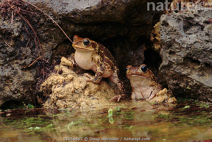 Common Cuban toad singing in limestone crevice Zapata swamp, Cuba  ,  WECHSLER,ZAPATA,CARIBBEAN,HORIZONTAL,SINGING,VOCALISATION,CUBA,SWAMPS,TOAD,TWO,AMPHIBIANS,WETLANDS,DWE,ANURA,TOADS,West Indies  ,  Doug Wechsler