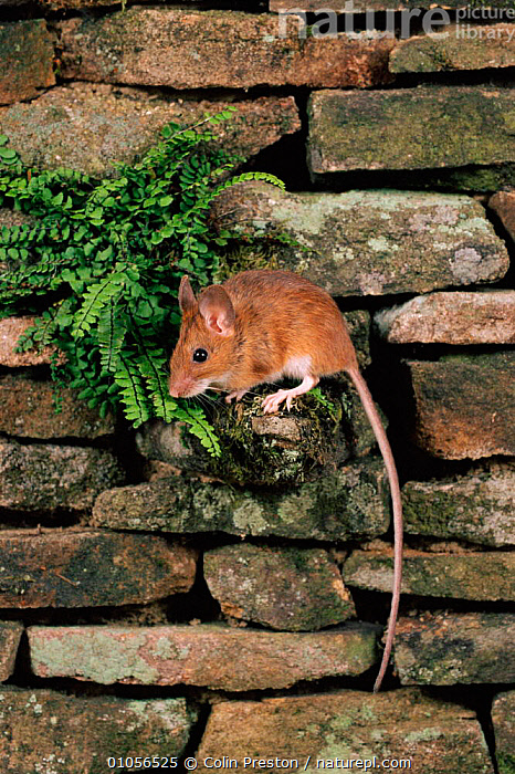 Yellow-necked mouse on wall, UK  ,  CAPTIVE,CLIMBING,COLIN,CPR,ENGLAND,EUROPE,HORIZONTAL,MAMMALS,PRESTON,RODENTS,TAIL,UK,VERTICAL,WALL,UNITED KINGDOM,BRITISH,MURIDAE  ,  Colin Preston