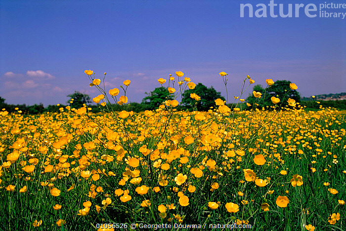 Buttercups in field. England, UK, Europe  ,  DICOTYLEDONS,ENGLAND,EUROPE,FIELD,FLOWERS,HORIZONTAL,MEADOWLAND,PLANTS,UK,YELLOW,UNITED KINGDOM,GRASSLAND,BRITISH  ,  Georgette Douwma