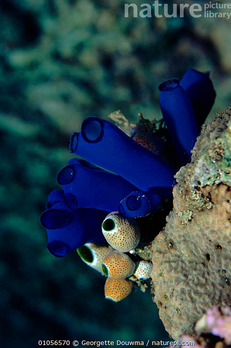 Seasquirts (Rhopalaea crasssa) and (Atriolum robustum). Banda Island, Moluccas, Indonesia  ,  ATRIOLUM,BANDA,BLUE,CORAL REEFS,,INDONESIA,ISLAND,MARINE,MIXED SPECIES,MOLUCCAS,,ROBUSTUM,SEASQUIRTS,SOUTH EAST ASIA,VERTICAL,ASIA  ,  Georgette Douwma