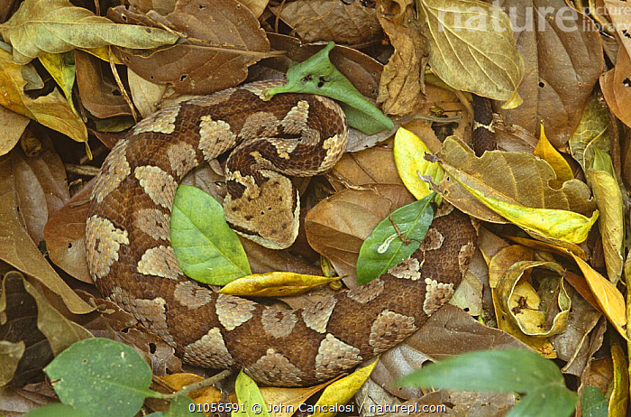 Jumping viper (Porthidum nummifer} Costa Rica, CAMOUFLAGE, CENTRAL-AMERICA, ground, LEAVES, REPTILES, SNAKES, TROPICAL, TROPICAL-RAINFOREST, VERTEBRATES, VIPERS, John Cancalosi