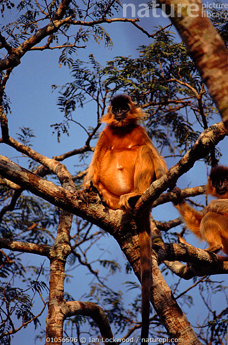 Capped langur female. Madhupur NP, Bangladesh, ADULTS,ASIA,BANGLADESH,FEMALES,INDIAN SUBCONTINENT,MADHUPUR,MAMMALS,MONKEYS,NP,PRIMATES,TREES,TWO,VERTICAL,PLANTS,NATIONAL PARK, Ian Lockwood