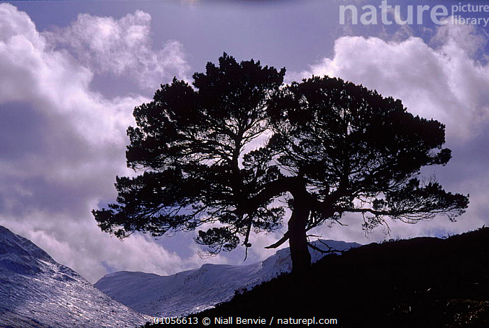 Scots pine (Pinus sylvestris). Glen Lyon, Perthshire, Scotland, UK, Europe, HORIZONTAL,EUROPE,SILHOUETTES,SCOTLAND,TREES,MOUNTAINS,PERTHSHIRE,CLOUDS,HIGHLANDS,LANDSCAPES,UNITED KINGDOM,WEATHER,PLANTS,BRITISH, Niall Benvie