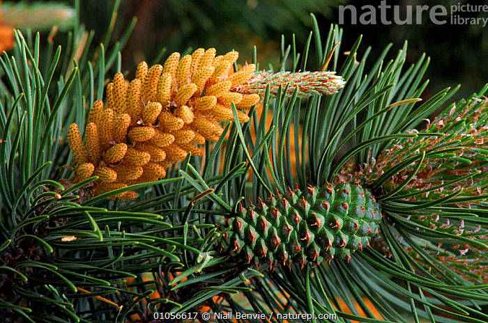 Scots pine cone. Scotland, UK, Europe, CONES,EUROPE,HORIZONTAL,PORTRAITS,SCOTLAND,SEEDS,TREES,UNITED KINGDOM,PLANTS,BRITISH, Niall Benvie