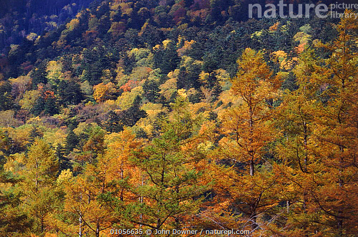 Mixed forest showing autumn colours (Pine and broadleaf sp.). Hodaka Mountains, Northern Alps, Kamikochi, Japan, MOUNTAINS,TREES,ALPS,AUTUMN,NORTHERN,HORIZONTAL,MIXED WOODS,WOODLANDS,CONIFERS,BROADLEAF,PLANTS,Asia, John Downer