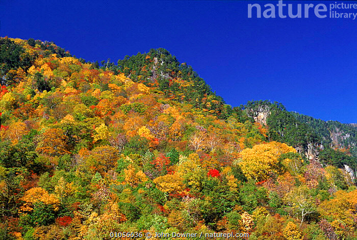 Mixed forest showing autumn colours (pine and broadleaf sp.). Hodaka Mountains, Northern Alps, Kamikochi, Japan, AUTUMN,KAMIKOCHI,MOUNTAINS,NORTHERN,ALPS,HODAKA,MIXED WOOD,TREES,WOODLANDS,,HORIZONTAL,PINE,DOWNER ,COLOUR CHANGES,PLANTS,Asia, John Downer