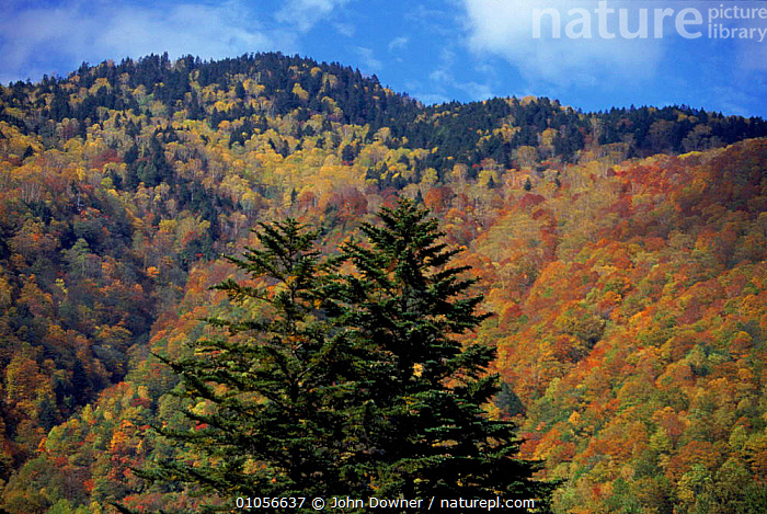 Autumn colours, Spruce and Maple. Hotaka Mountains, Kamikochi, Northern Alps, Japan, WOODLANDS,TREES,AUTUMN,MAPLE,KAMIKOCHI,MOUNTAINS,ALPS,MIXED WOOD,PLANTS,Asia, John Downer