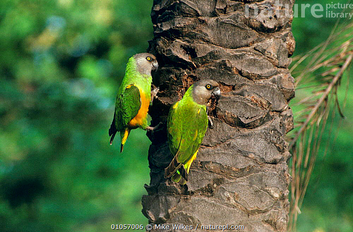 Senegal parrots {Poicephalus senegalus} Gambia  ,  AFRICA,BIRDS,HORIZONTAL,MALE FEMALE PAIR,PARROTS,TREES,TRUNKS,VERTEBRATES,WEST AFRICA,Plants,WEST-AFRICA  ,  Mike Wilkes