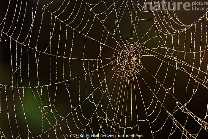 Spiders web covered in dew. Inverness-shire, Scotland, UK, Europe, ARTY SHOTS,AVIEMORE,BRITISH,DEW,EUROPE,HORIZONTAL,INVERNESS SHIRE,INVERTEBRATES,PATTERNS,SCOTLAND,TRANSPARENT,UK,UNITED KINGDOM,VERTICAL,WEB, Niall Benvie