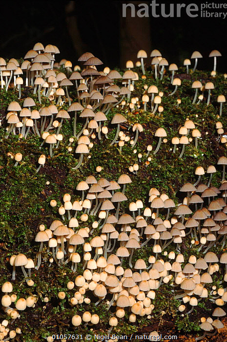 Trooping crumble cap (Coprinus disseminatus), autumn. Norfolk, England, UK, Europe  ,  AUTUMN, COPRINACEAE, ENGLAND, EUROPE, FUNGI, GROUPS, INK-CAP, LANDSCAPES, PLANTS, UK, WHITE, WOODLANDS,United Kingdom  ,  Nigel Bean