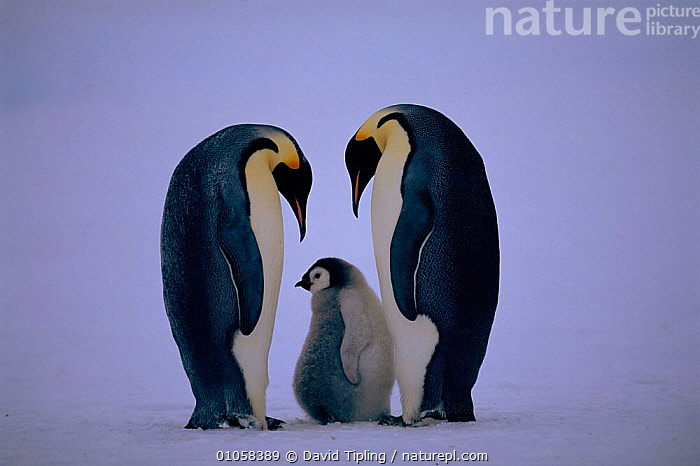 Emperor penguin pair in courtship ritual with chick (Aptenodytes forsteri). Dawson-Lambton glacier, Weddell Sea, Antarctica (November), DAWSON LAMBTON,WEDDELL,GLACIER,MATING BEHAVIOUR,SUMMER,SEA,BIRDS,COURTSHIP,FLIGHTLESS,FAMILIES,ANTARCTICA,CHICK,HORIZONTAL,MALE FEMALE PAIR,DISPLAY,BABIES,REPRODUCTION,COMMUNICATION,PENGUINS,SEABIRDS, Seabirds, David Tipling
