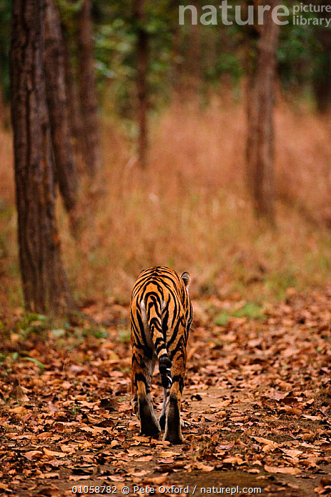 Tiger walking away. {Panthera tigris} Bandhavgarh NP, India, VERTICAL,PETER,WOODLANDS,INDIAN SUBCONTINENT,RESERVE,OXFORD,CATS,INDIA,PO,MAMMALS,WALKING,BANDHAVGARH,CARNIVORES,STRIPES,ASIA,TIGERS,BIG CATS, Pete Oxford