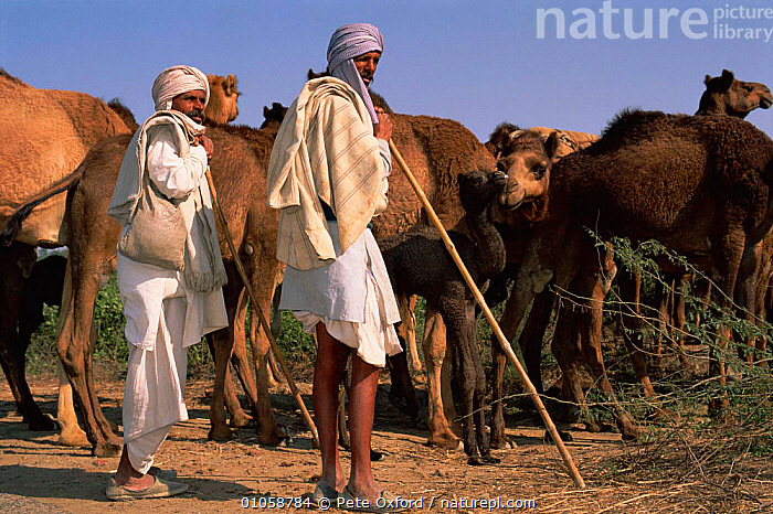 Dromedary camels with herders {Camelus dromedarius} Rajasthan, India, ASIA,GROUPS,HERD,HORIZONTAL,INDIAN SUBCONTINENT,LIVESTOCK,MAMMALS,OXFORD,PEOPLE,PETER,PO,RAJASTHAN,TRADITIONAL,INDIAN-SUBCONTINENT, Pete Oxford