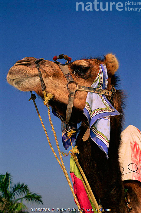 Dromedary camel {Camelus dromedarius} Rajasthan, India, HEADS,FACES,PETER,PO,PORTRAITS,LIVESTOCK,MAMMALS,INDIAN SUBCONTINENT,OXFORD,RAJASTHAN,VERTICAL,INDIA,ASIA, Pete Oxford