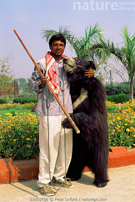 Keeper with dancing Sloth bear {Melursus ursinus} purely for tourism, recently banned and made illegal in Rajasthan, Agra, India, ASIA,Captivity,CARNIVORES,Exploitation,ILLEGAL,INDIAN SUBCONTINENT,MAMMALS,PEOPLE,TOURISM,VERTICAL,INDIAN-SUBCONTINENT, Pete Oxford