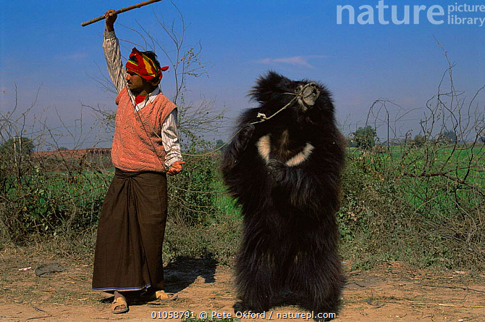 Keeper with dancing Sloth bear {Melursus ursinus} purely for tourism, recently banned and made illegal in Rajasthan, Agra, India, ASIA,CARNIVORES,CRUELTY,Exploitation,INDIAN SUBCONTINENT,MAMMALS,TOURISM,INDIAN-SUBCONTINENT, Pete Oxford
