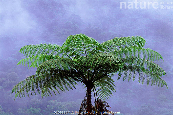 Giant tree fern in Manu cloud forest, Peru, AMERICA,CLOUD FOREST,CLOUDS,FERNS,GIANT,HORIZONTAL,MANU,OXFORD,PERU,PETER,PLANTS,PO,RAINFOREST,SOUTH,SOUTH AMERICA,TROPICAL,WEATHER, Pete Oxford