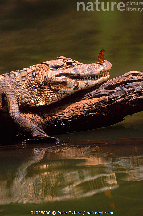 Black caiman {Caiman niger} with butterfly on nose Manu NP, Peru, BUTTERFLY,INSECTS,MANU,MIXED SPECIES,NP,PERU,REPTILES,VERTICAL,WATER,INVERTEBRATES,NATIONAL PARK,CROCODYLIA, CAIMANS, Pete Oxford