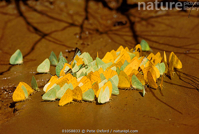 Giant sulphur butterflies (Phoebis sp.) at salt lick. Madre de Dios river, Amazonia, Peru, Southern Africa, DIOS,MINERALS,HORIZONTAL,LICK,GROUPS,PATTERNS,PERU,MADRE,YELLOW,FEEDING,INVERTEBRATES,BUTTERFLIES,SALT,AMAZONIA,INSECTS,RIVER,LEPIDOPTERA, Pete Oxford