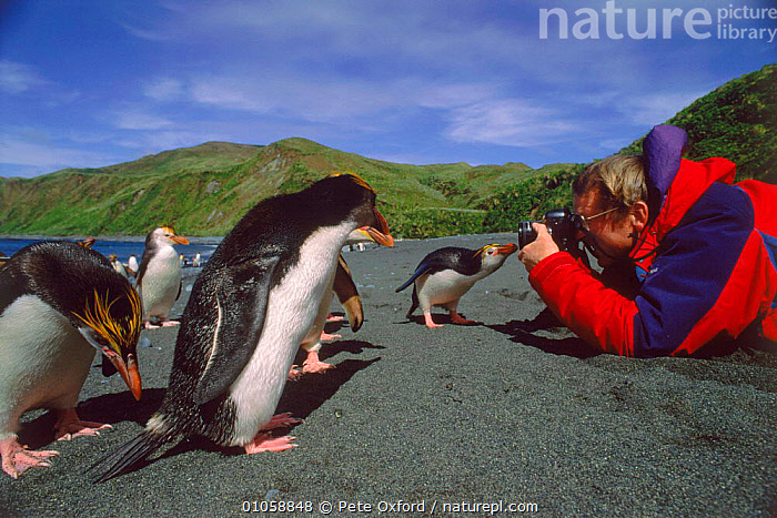 Tourist photographing Royal penguin on beach on Macquarie Island, Tasmania, Australia, 35,AUSTRALIA,BIRDS,CAMERA,COASTS,FLIGHTLESS,HORIZONTAL,MACQUARIE,OXFORD,PENGUINS,PEOPLE,PETER,PHOTOGRAPHERS,PHOTOGRAPHY,PO,SANDY,SEABIRDS,TASMANIA,TOURISM, Seabirds, Pete Oxford