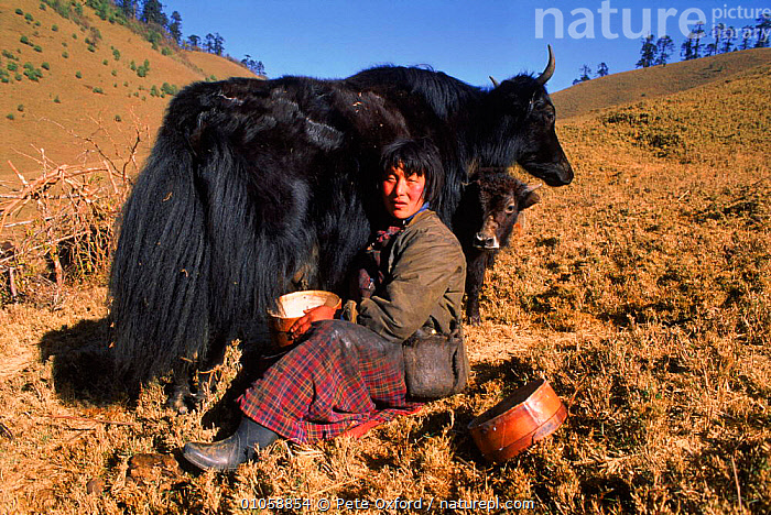 Woman milking domestic yak {Bos grunniens} Nr Gangte Goemba, Bhutan, ASIA,BOS,CATTLE,GANGTE,GOEMBA,GRUNNIENS,HERDER,HORIZONTAL,INDIAN SUBCONTINENT,LIVESTOCK,MILK,MILKING,OXFORD,PEOPLE,PETER,PO,TRADITIONAL,WOMAN,YAK,INDIAN-SUBCONTINENT, Pete Oxford