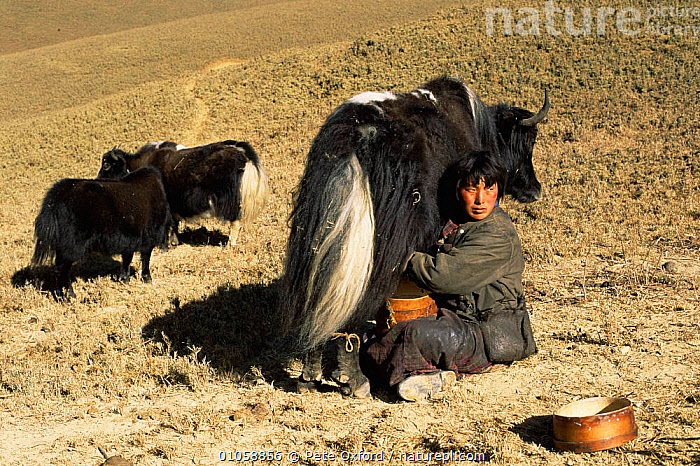 Herder milking Domestic yak {Bos grunniens} Nr Gangte, Goemba, Bhutan 2001, ASIA,CATTLE,LIVESTOCK,MAMMALS,MAN,PEOPLE,TRADITIONAL,INDIAN-SUBCONTINENT, Pete Oxford