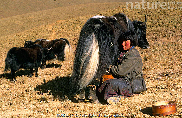 Woman milking Domestic yak {Bos grunniens} near Gangte Goemba, Bhutan, ASIA,CATTLE,HORIZONTAL,INDIAN SUBCONTINENT,LIVESTOCK,PEOPLE,TRADITIONAL,YAKS,INDIAN-SUBCONTINENT, Pete Oxford