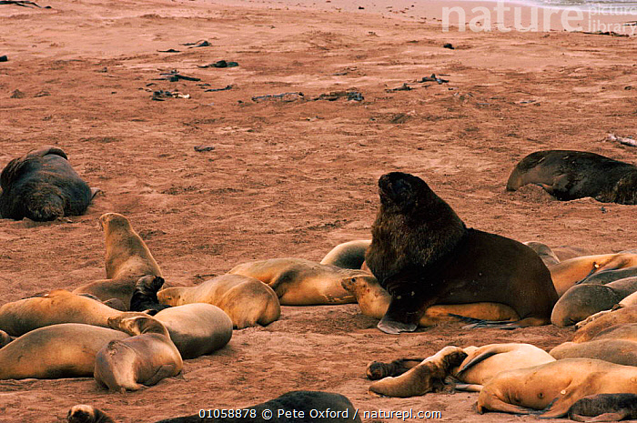 New Zealand sealions mating {Neophoca hookeri} Auckland Is, New Zealand Enderby Island, PO,COPULATION,MAMMALS,ENDERBY,MATING BEHAVIOUR,HAREM,PETER,AUCKLAND,PINNIPEDS,BREEDING,HORIZONTAL,COLONY,OXFORD,GROUPS,MALE FEMALE PAIR,ROOKERY,BEACH,REPRODUCTION, Pete Oxford