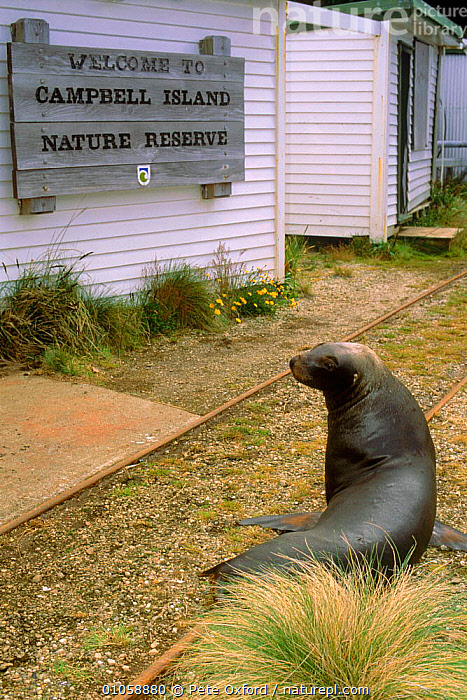 New Zealand sealion (Neophoca hookeri) by building. Campbell Island, New Zealand, VERTICAL,PINNIPEDS,NEW ZEALAND,BUILDINGS,CAMPBELL,MAMMALS,RESERVE,ISLAND,TOURISM, Pete Oxford