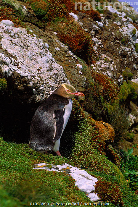 Yellow-eyed penguin, Aukland Island, New Zealand, SEABIRDS,PETER,ISLAND,OXFORD,ZEALAND,BIRDS,MOSS,PENGUIN,NEW,NEW ZEALAND,PO,VERTICAL,AUKLAND,FLIGHTLESS,PENGUINS, Seabirds, Pete Oxford