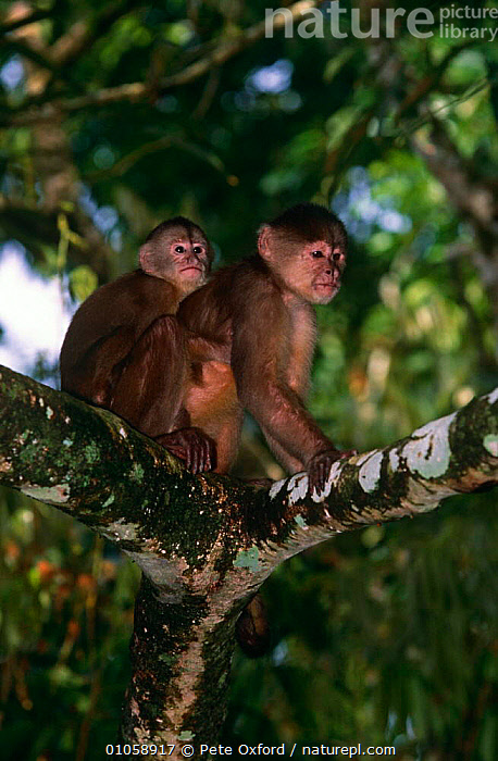 White fronted capuchin, mother with young {Cebus albifrons} Captive, Ecuador, BABIES,CAPUCHINS,FAMILIES,MAMMALS,MONKEYS,PRIMATES,SOUTH AMERICA,TROPICAL RAINFOREST,VERTEBRATES,VERTICAL, Pete Oxford