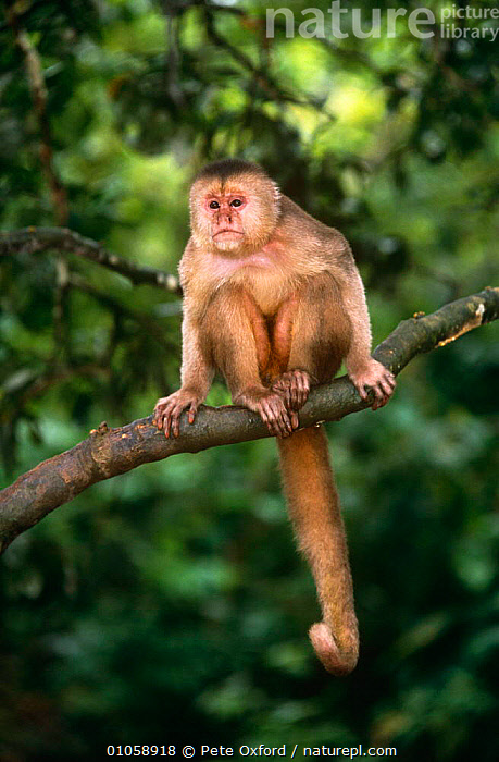 White fronted capuchin {Cebus albifrons} Captive,  Ecuador, CAPUCHINS,MAMMALS,MONKEYS,PRIMATES,SOUTH AMERICA,TROPICAL RAINFOREST,VERTEBRATES,VERTICAL, Pete Oxford
