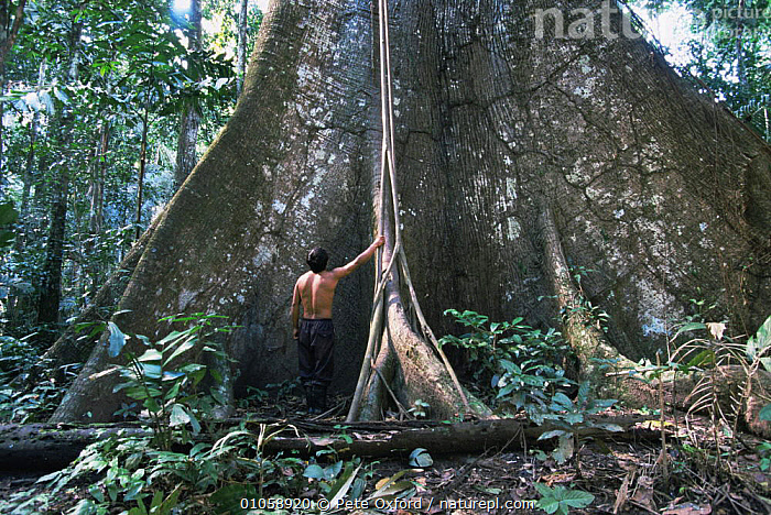Man standing next to buttress roots of Kapok tree {Ceiba sp} Amazon, Peru, 1998, AMAZONIA,PEOPLE,PLANTS,ROOTS,SIZE,SOUTH AMERICA,TREES,TROPICAL,TROPICAL RAINFOREST,TRUNKS,UNDERSTOREY,SOUTH-AMERICA , understory, Pete Oxford